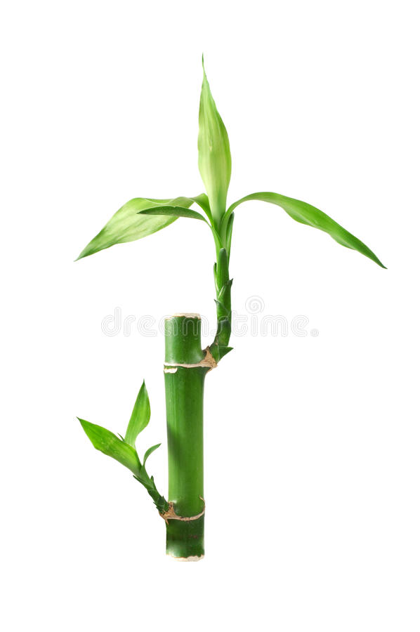 Download Lucky bamboo stock photo. Image of fengshui, colored - 14317302