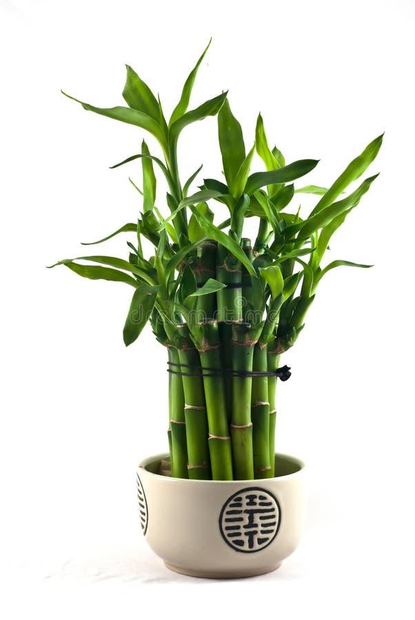 Lucky Bamboo. (Dracaena sanderiana) in a porcelain pot stock photography