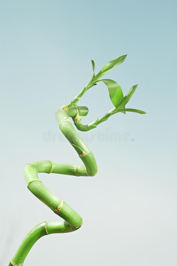 Download Lucky bamboo stock image. Image of copy, growth, space - 24082015