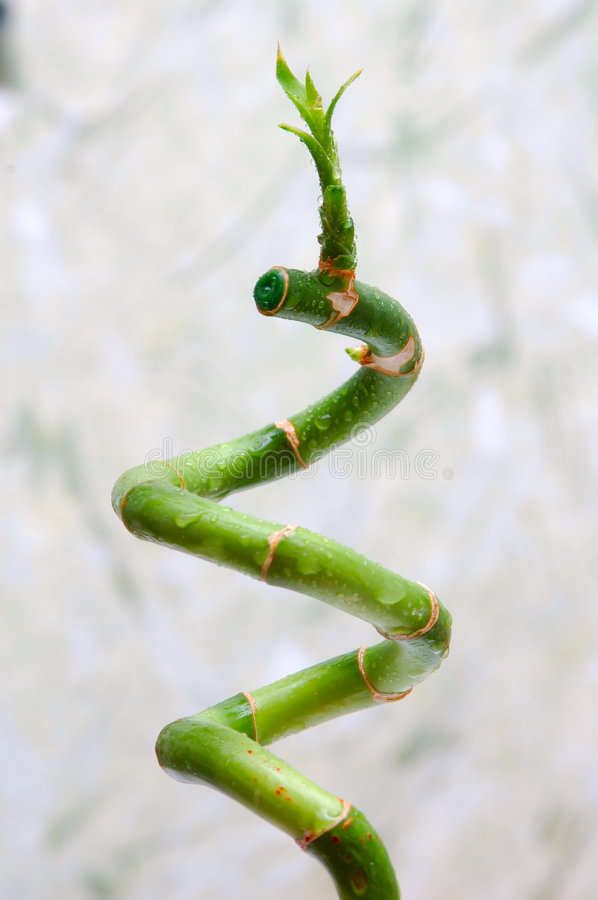 Free Lucky Bamboo Stock Photography - 4549162
