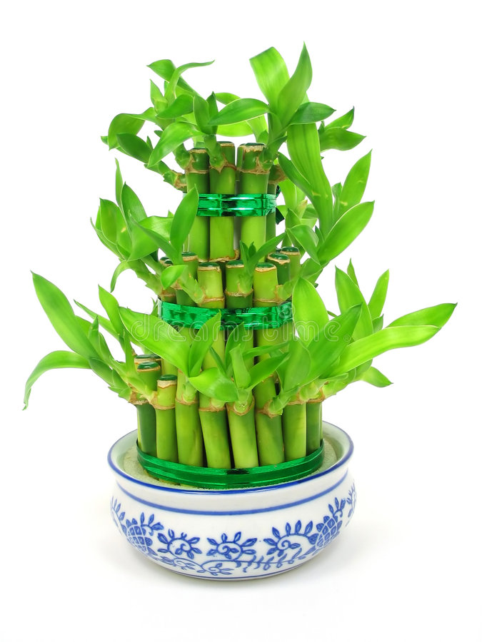 Download Lucky Bamboo Stock Photo - Image: 513170