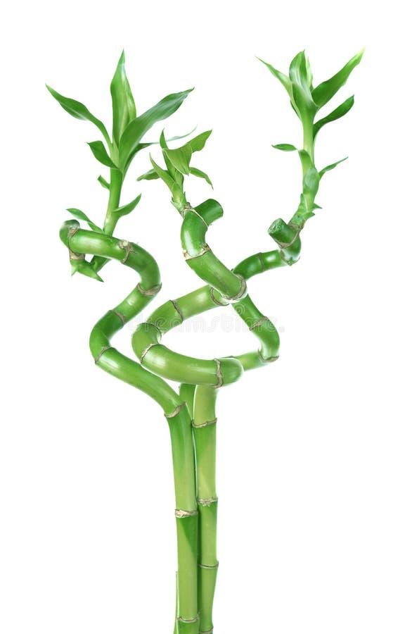 Lucky Bamboo & x28; Dracaena Sanderiana& x29; foto de stock
