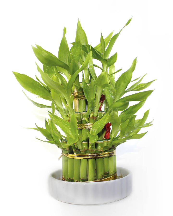 Lucky Bamboo in a Green Vase Isolated royalty free stock photos