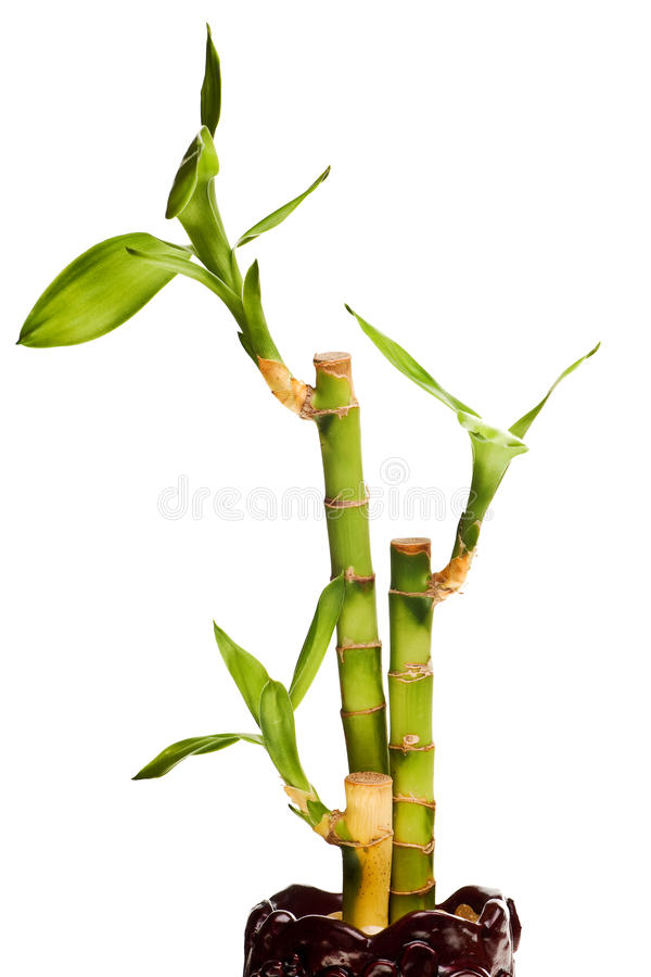 Lucky bamboo isolated. On white background royalty free stock photo