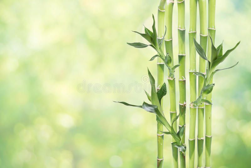 Lucky Bamboo on natural background stock images