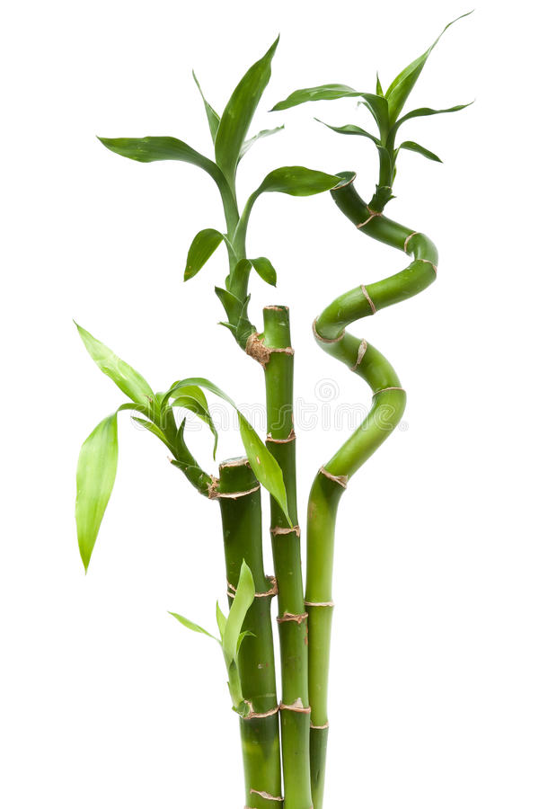 Lucky bamboo plant royalty free stock photo