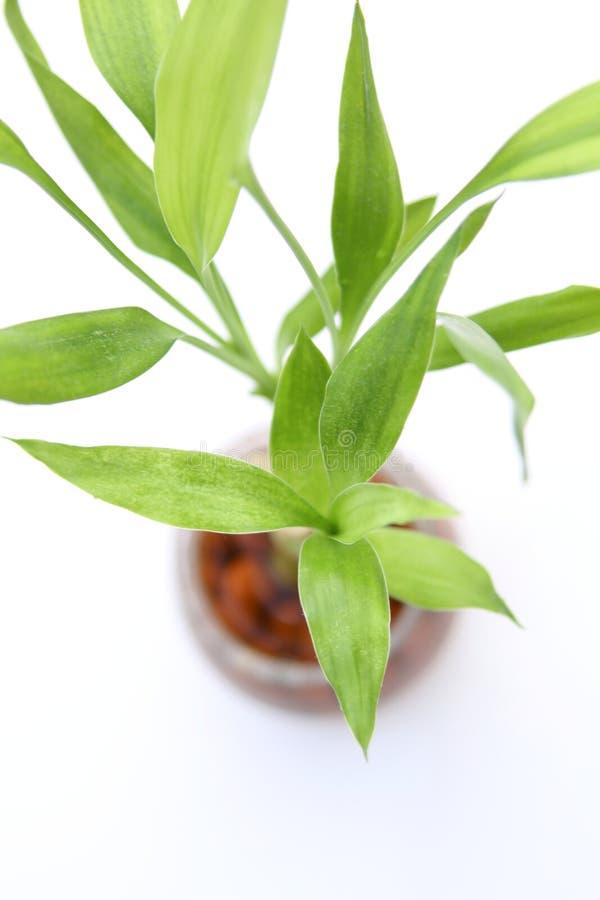 Lucky bamboo plant (Dracaena sanderiana) royalty free stock images