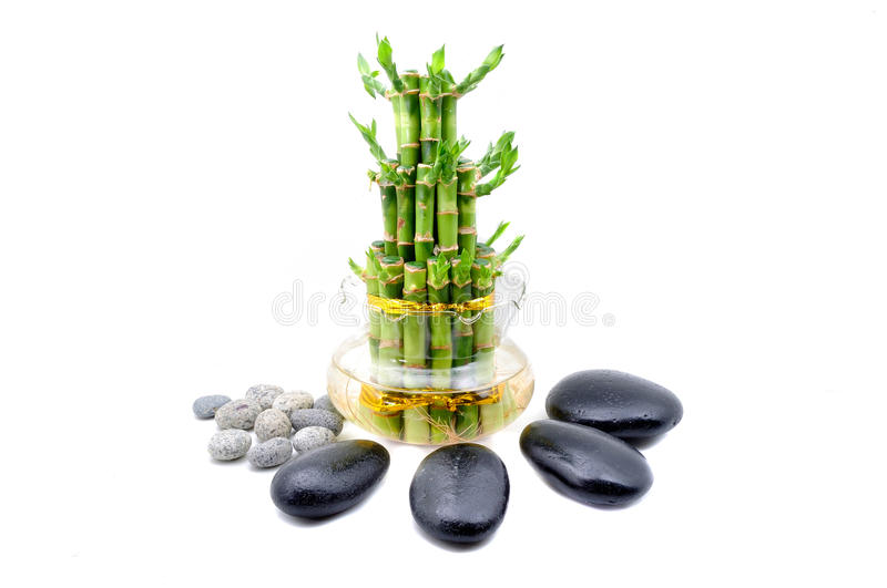A lucky bamboo plant on a white background royalty free stock photography