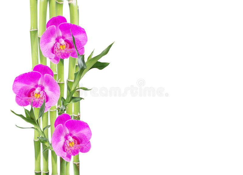 Lucky Bamboo and three orchid flower on white background stock photo