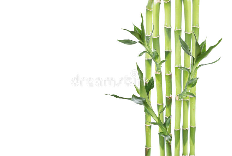 Lucky Bamboo on white background. Several stem of Lucky Bamboo (Dracaena Sanderiana) with green leaves, isolated on white background, with copy-space royalty free stock images