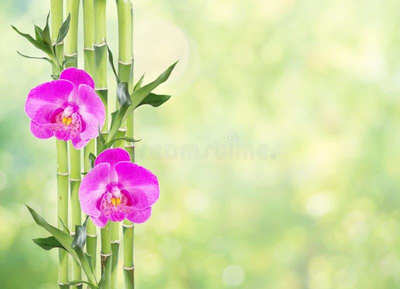 Lucky Bamboo y dos flores de la orquídea en fondo verde natural imagen de archivo libre de regalías