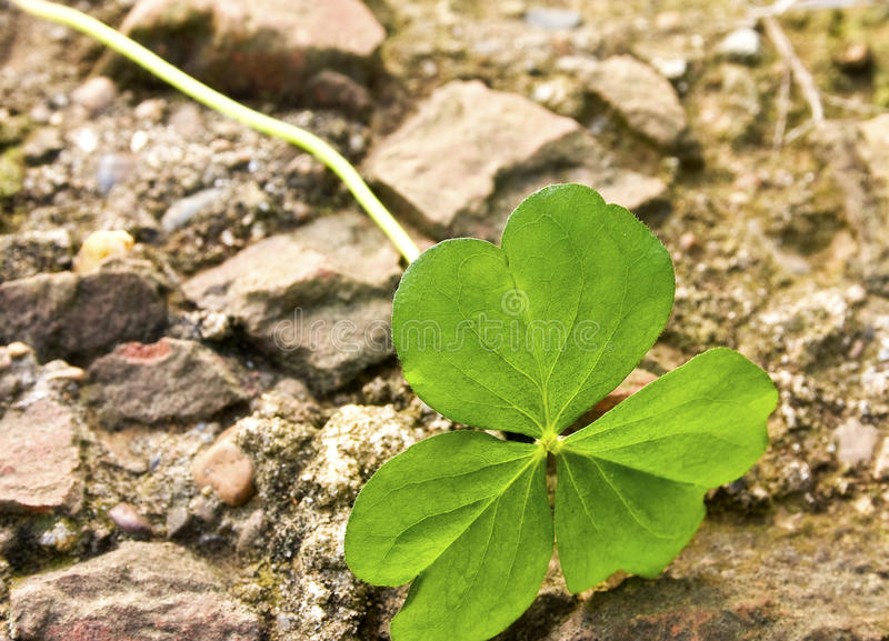 Download Lucky clover stock photo. Image of shamrock, nature, wish - 12567262