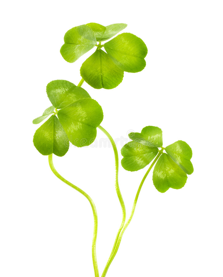 Download Lucky Clovers stock image. Image of grow, decoration, holidays - 8366285