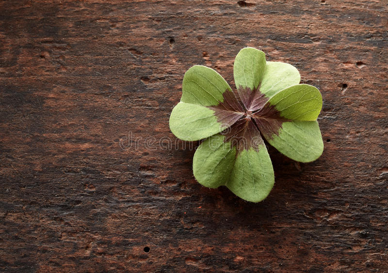 Lucky four leaf clover on textured rustic wood royalty free stock images