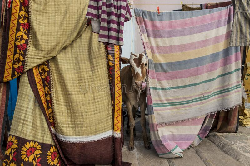 Cow between fabrics and blankets in Hospet, India. Lucky holy cow between fabrics and blankets in Hospet, India stock images