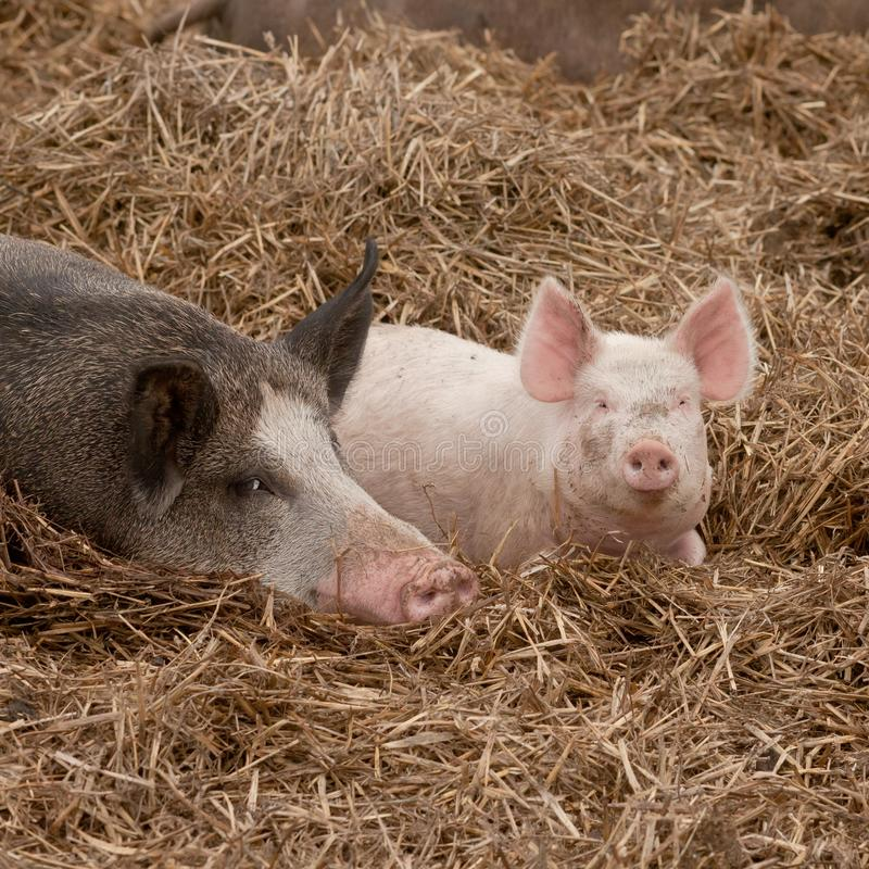 lucky little pink pig babe stock photos