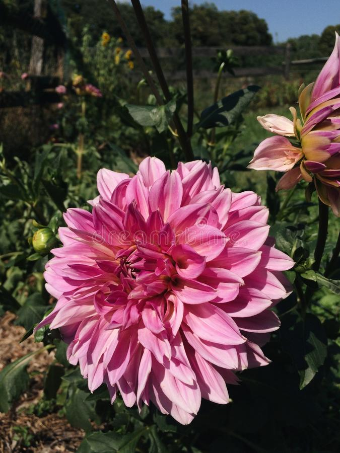 `Lucky Number` Dahlia flowers in bloom. Beautiful blossom of pink `Lucky Number` Dahlia flower blooming in the garden, close up stock images