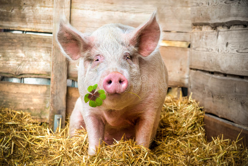 Lucky Pig. Pig on hay and straw green shamrock in snout