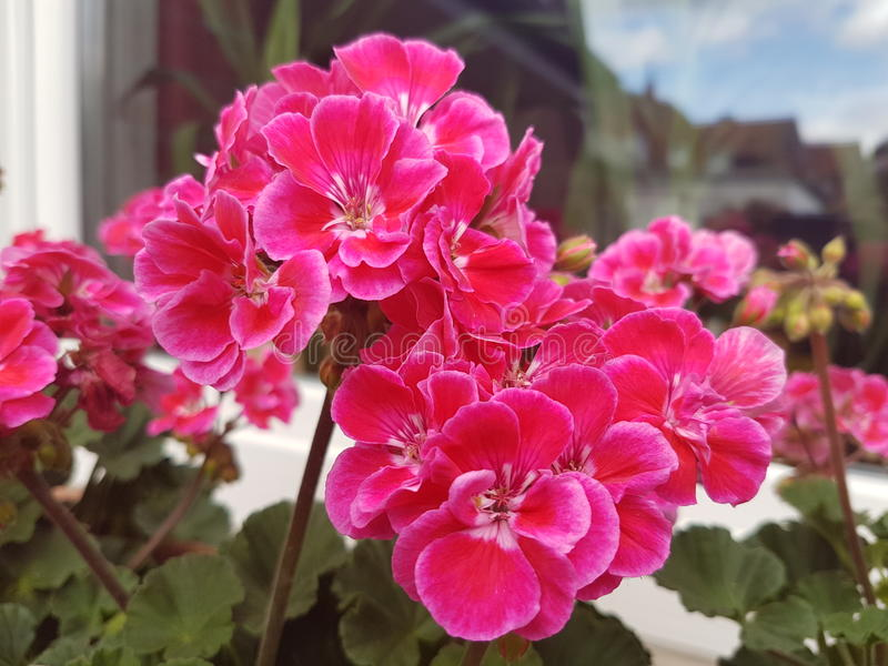 Lucky pink garden flowers royalty free stock photos