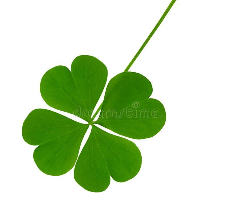 Lucky shamrock. Single lucky shamrock leaf isolated on white stock photography