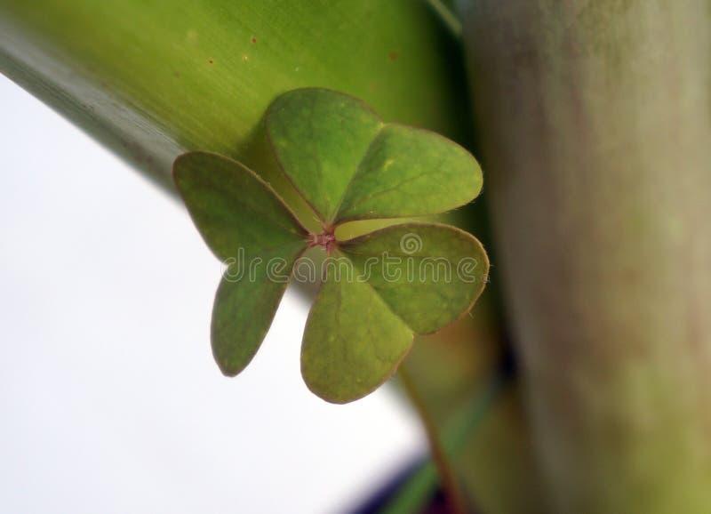 Lucky trebols. stock photo