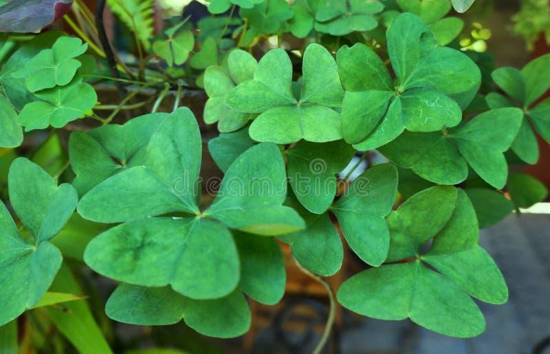 Lucky trebols. stock image