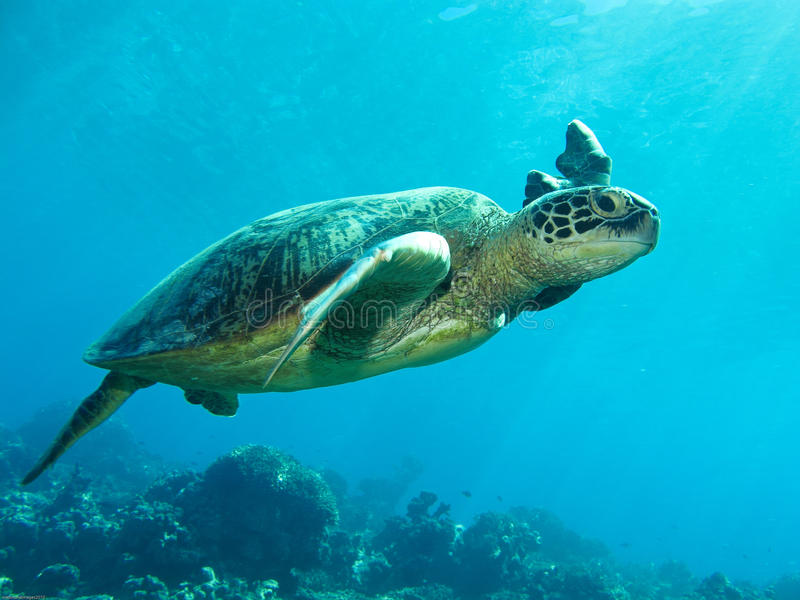 Lucky Turtle royalty free stock photo
