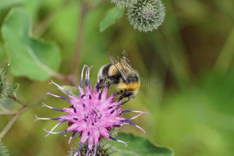 Lucorum gris y amarillo y negro macro Caucasi del Bombus del abejorro imagenes de archivo