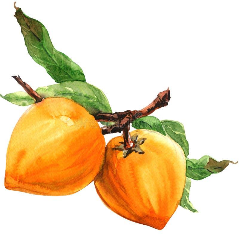 Lucuma, ramo com folhas, lucuma do Pouteria, fruto maduro isolado, ilustração do ovo da aquarela no branco ilustração do vetor