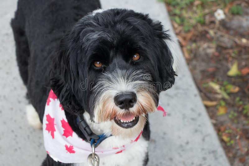 Black and white Portuguese Water Dog wearing a bandana. Black and white Portuguese Water dog wearing a white and red bandana stock images