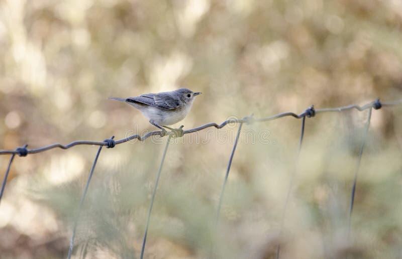Lucy ` s Warbler ptak, Sweetwater bagna parki, Tucson Arizona obraz royalty free
