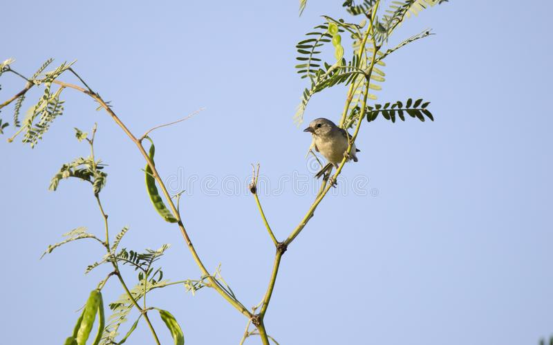 Lucys Warbler in Mesquite tree, Tucson Arizona desert. Lucy`s Warbler songbird, Oreothlypis luciae, range includes southwestern United States and northwestern stock images