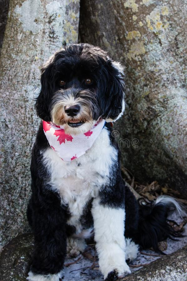 Cute black and white dog wearing a bandana. Black and white Portuguese Water Dog sitting beside a tree wearing a white bandana with red maple leafs on it royalty free stock image