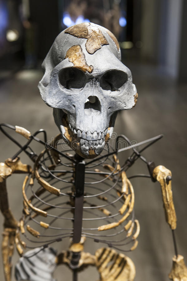 Lucy skeleton. Madrid, Spain - February 24, 2017: Lucy skeleton, a female of the hominin species Australopithecus afarensis at National Archeological Museum of royalty free stock images