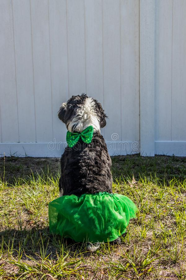 Back of a black and white dog wearing a green skirt and bowtie. Black and white dog ready for St Patrick`s Day in her green skirt and bow stock images