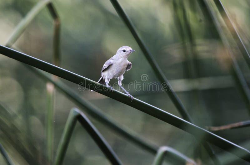 Lucys鸣鸟鸟, Sweetwater沼泽地,图森亚利桑那沙漠 免版税库存图片