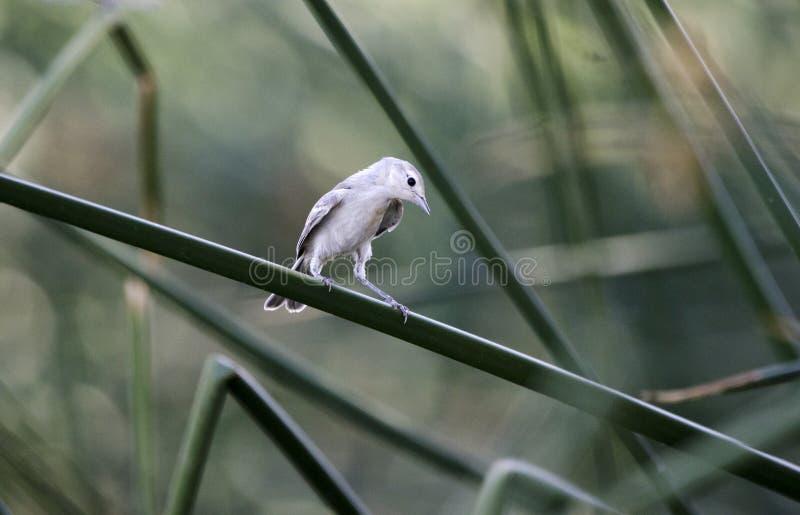 Lucys鸣鸟鸟, Sweetwater沼泽地,图森亚利桑那沙漠 库存照片