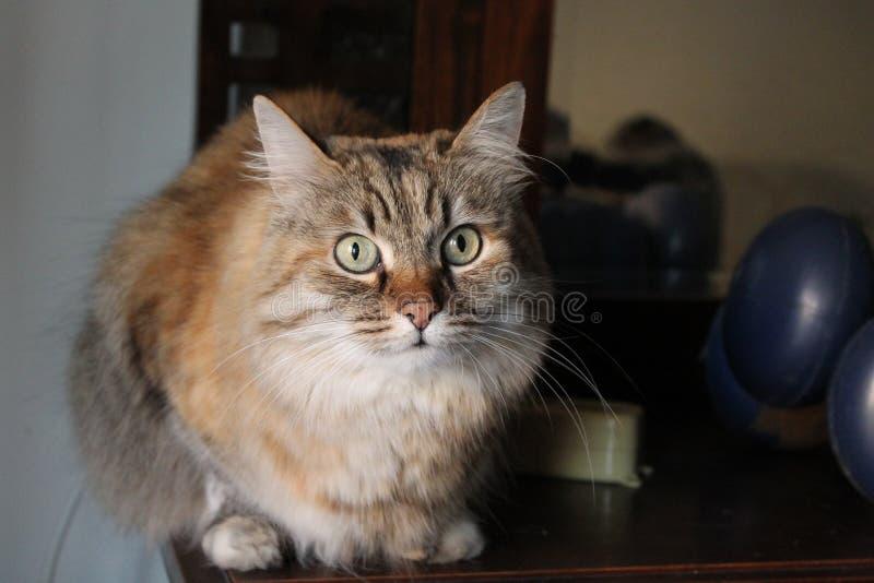 Ludmilla Princess pseudonym Princi - brun strimmig kattMaine Coon katt royaltyfri foto
