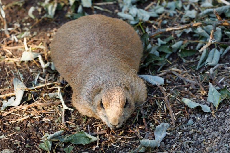 Ludovicianus à queue noire de Cynomys de chiens de prairie photos stock