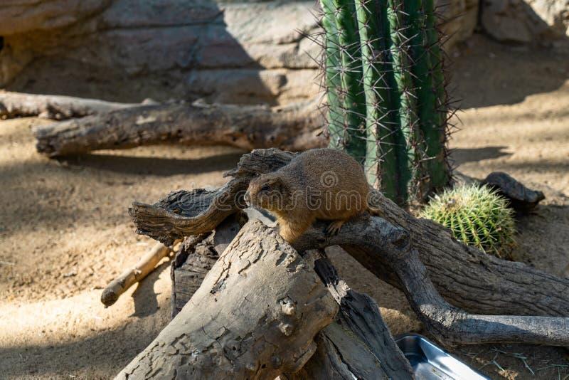 Ludovicianus atado preto do Cynomys dos c?es de pradaria no jardim zool?gico Barcelona fotografia de stock