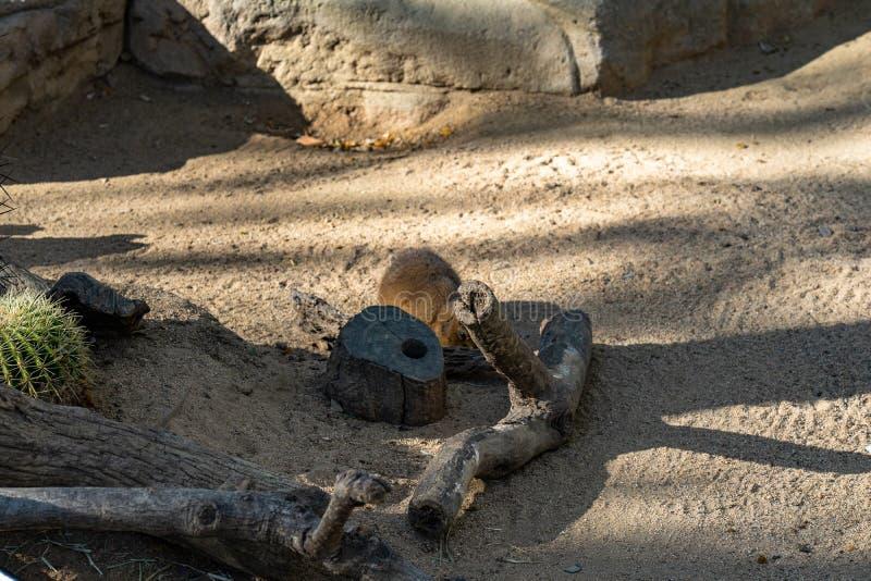 Ludovicianus met zwarte staart van prairiehondencynomys in dierentuin Barcelona stock fotografie