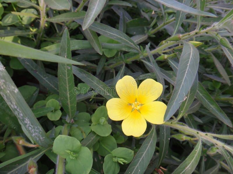 Ludwigia blomma arkivfoto