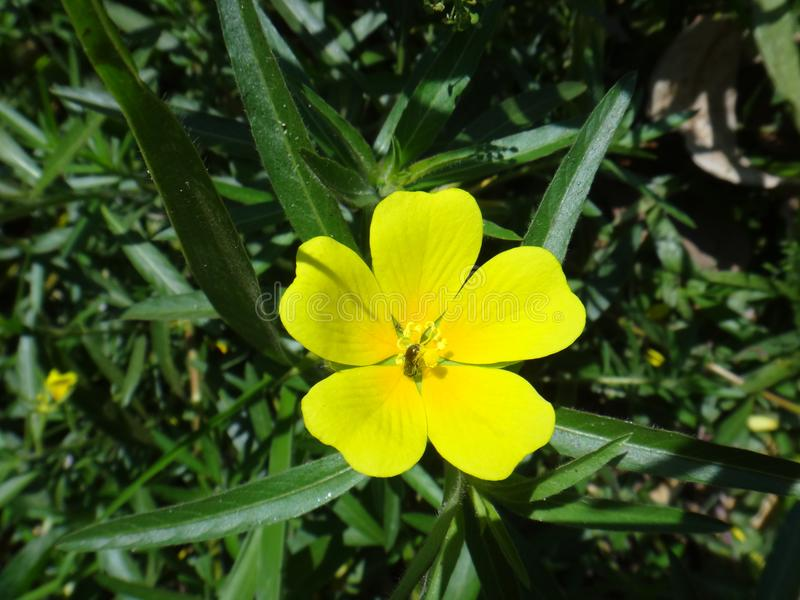 Yellow flower of Ludwigia royalty free stock image