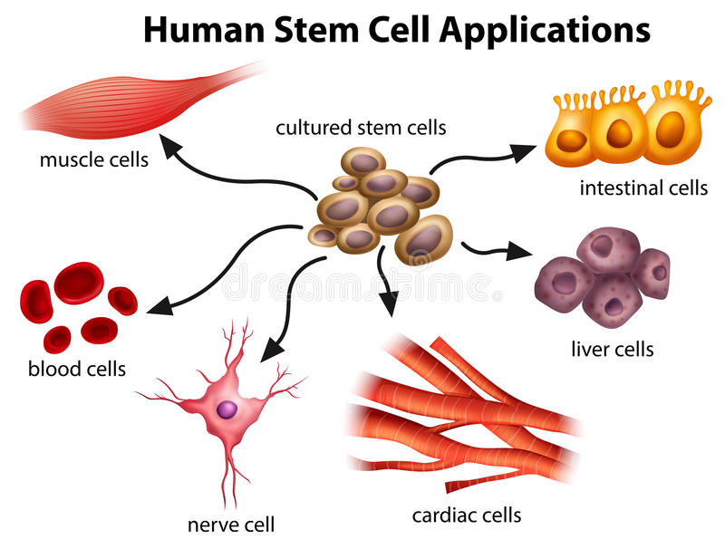 Ludzcy komórek macierzystych zastosowania ilustracja wektor