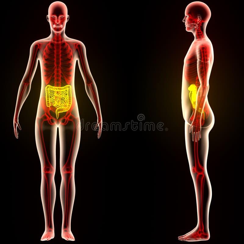 Ludzcy mięśnia ciała organy (Wielki i Mały jelito) ilustracja wektor
