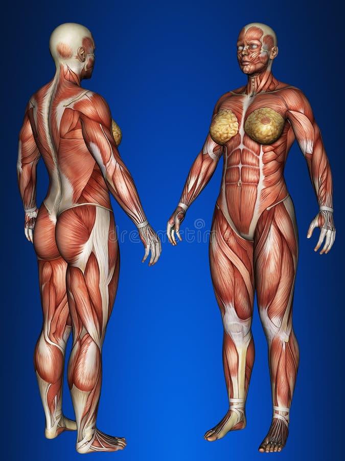 Ludzcy organy royalty ilustracja