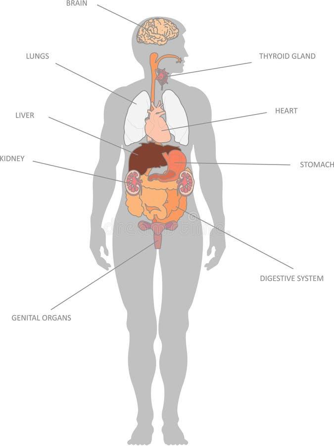 ludzcy organy zdjęcia stock