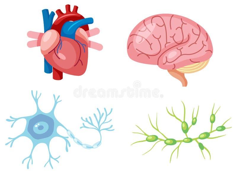 Ludzcy organy i neuron komórka ilustracja wektor