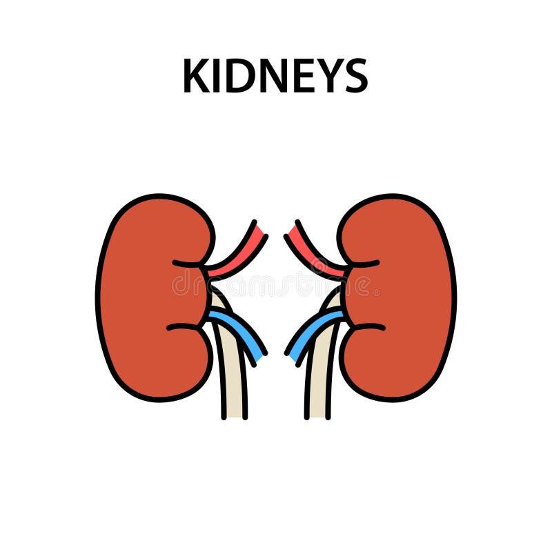 Ludzcy wewnętrznego organu cynaderki Zdrowi silni organy r?wnie? zwr?ci? corel ilustracji wektora royalty ilustracja