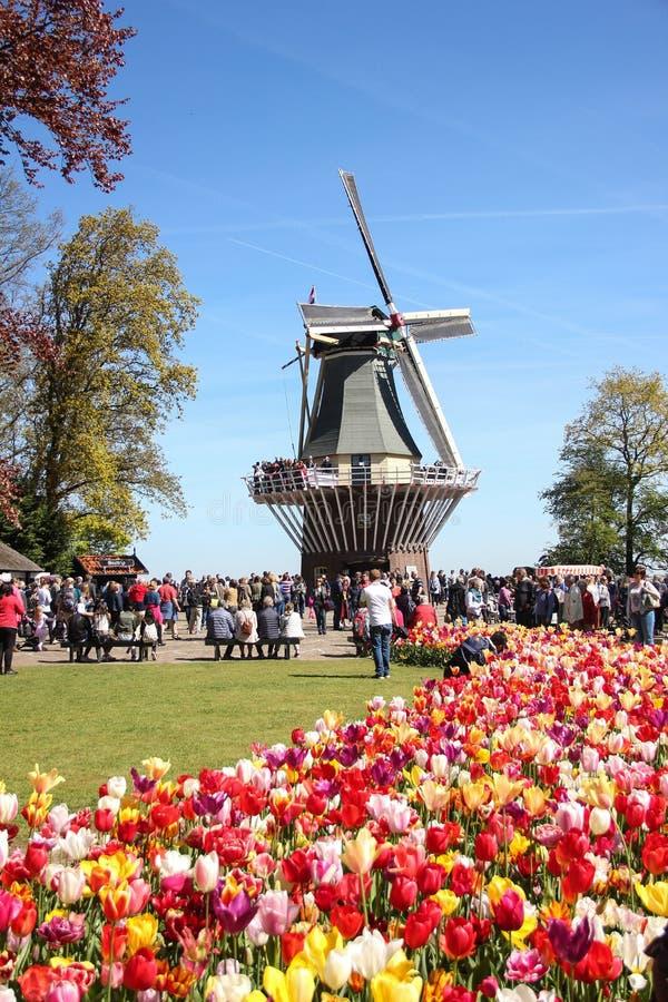 Ludzie chodzi blisko tradycyjnego starego drewnianego młynu na polu żółci i czerwoni piękni tulipany zamykają w górę Wiosna czas  zdjęcie royalty free